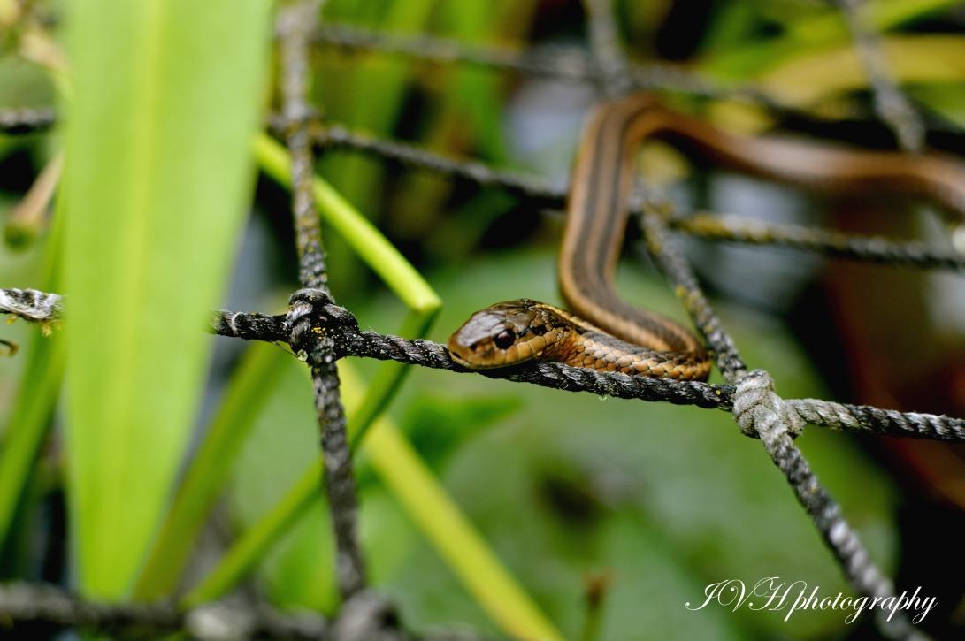 Garden_snake_IVH