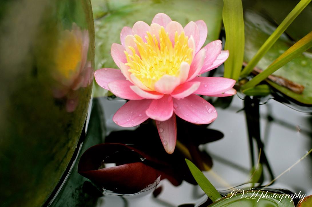 Waterlily_best