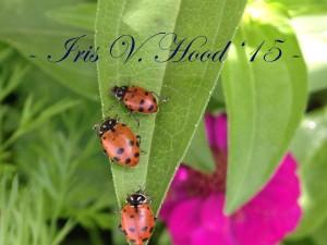 Ladybug_IVH_Copyright